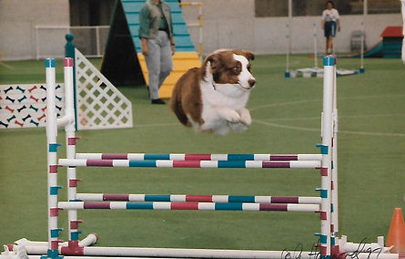 Red Tri ustrain Shepherd doing Agility