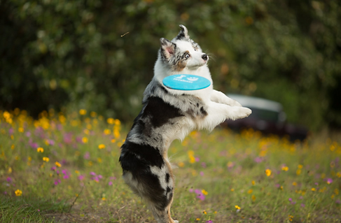 AustralianShepherd with Frisbee