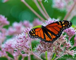 Hocking Monarch