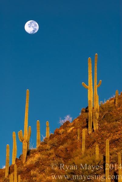 Moonset over Saguaro