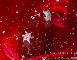 Snowflake & Rose