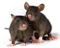 rats broxbourne
