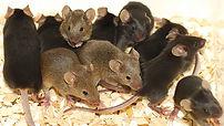 Mice Broxbourne