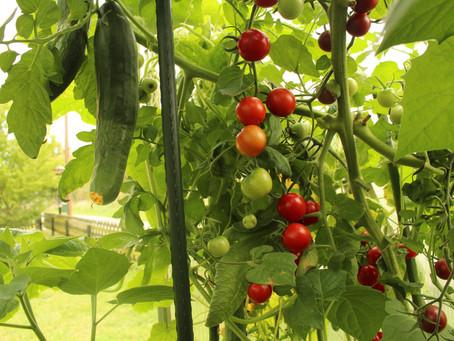 Tomaten - von uns selbst gezogen, verarbeitet und gegessen.