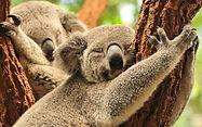 brisbane-wildlife-koalas.jpg