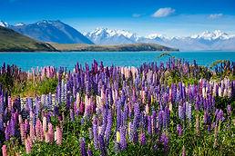 Lake-Tekapo-with-Llupins-Blooming-South-