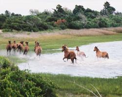 Shackleford Ponies
