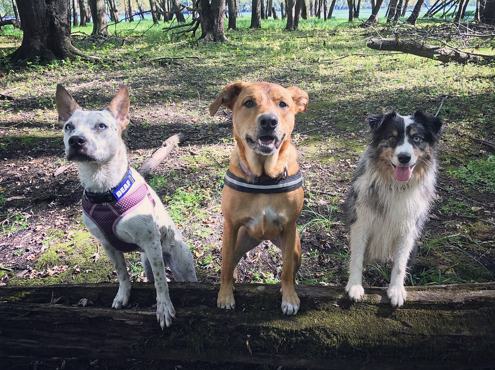 Akela, Zoey and Jonsi posing nice on a fallen tree between their hiking play time.