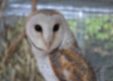 Australian native bird species - Barn owl
