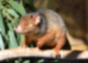 Australian native marsupial species - Ringtail Possum