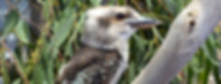 Australian native bird species - Laughing kookaburra