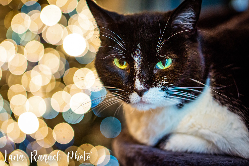 Cat in Front of Christmas Tree Lights