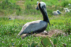 Spatial ecology of Brown Pelican