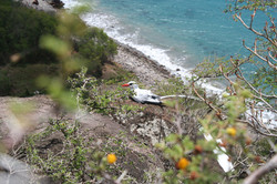 Tracking Seabirds in the Caribbean
