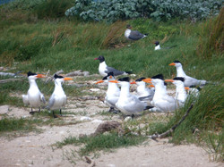 Seabirds of the South Atlantic Bight