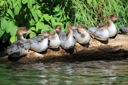 Red breasted Mergansers Kenai River
