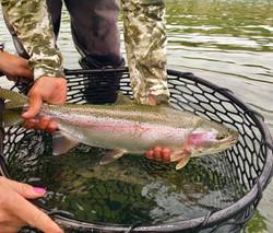 Kenai River Rainbow Trout