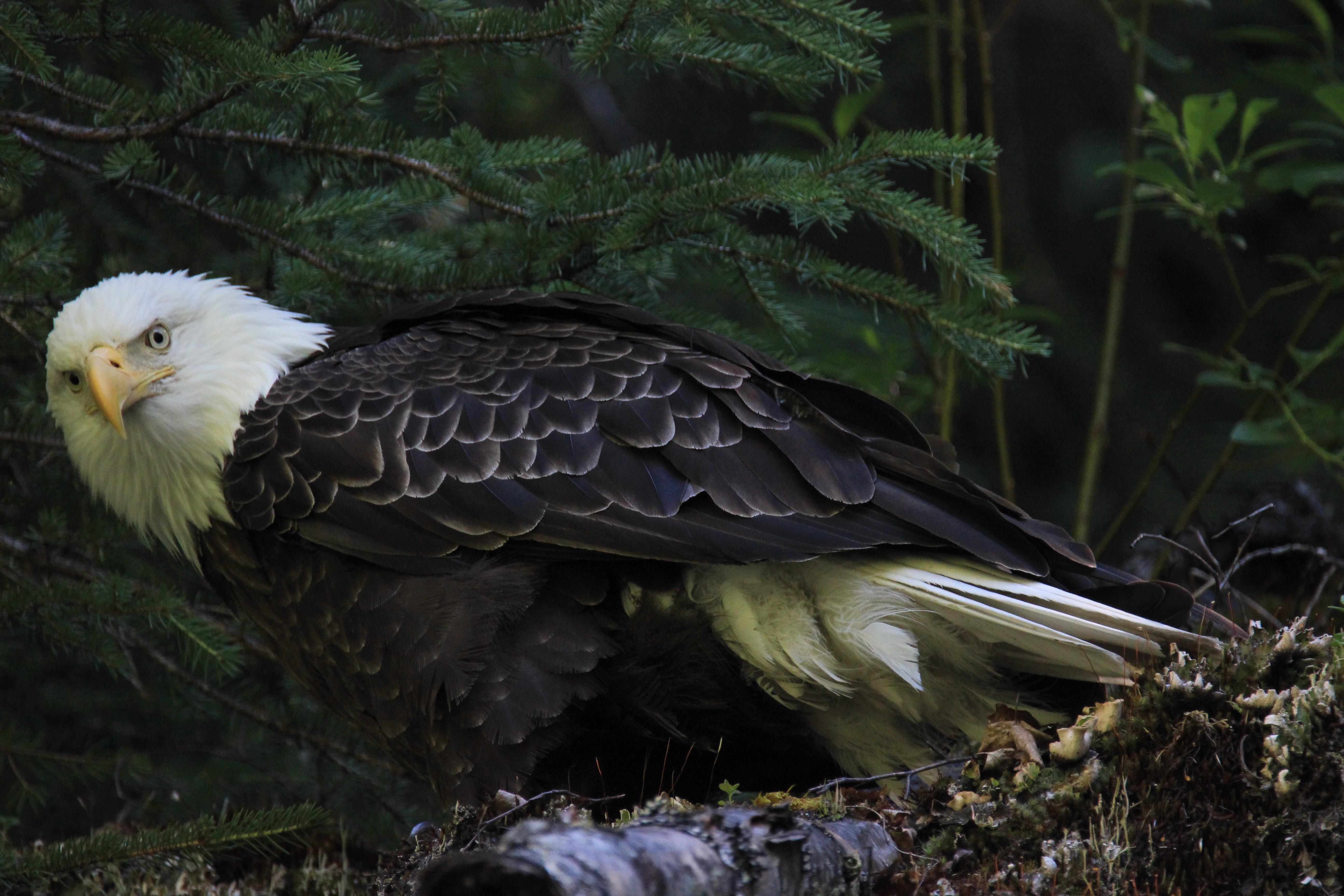 Bald Eagle Kenai River