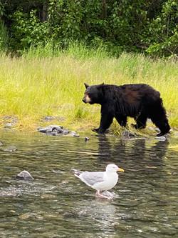 Kenai River Black Bear