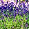 lavender_150.jpg
