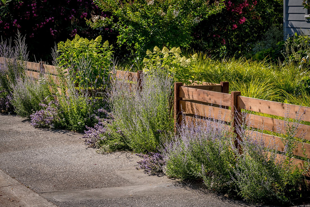 A drought tolerant perennial border in a California modern farmhouse style garden includes nepeta faasenii russian sage achillea and hydrangea paniculata