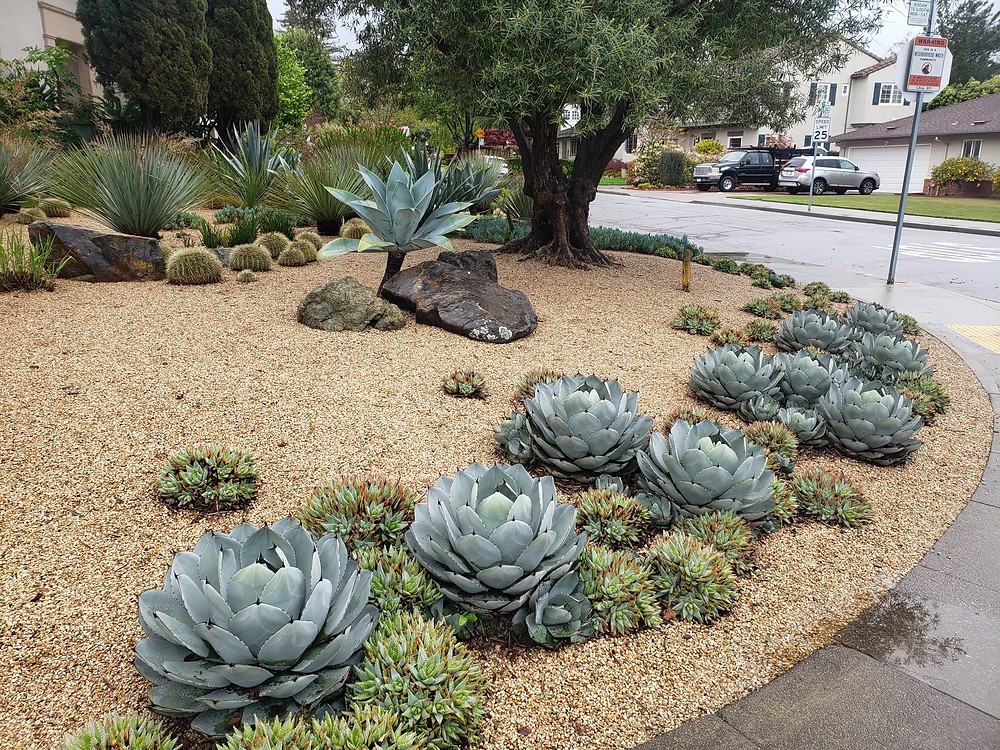 Gold colored gravel is a suitable ground cover around this drought tolerant landscape of agaves, olive and succulents