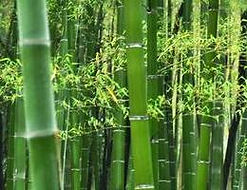 Bamboo.jfif