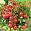 Thumbnail: Baby Tomatoes