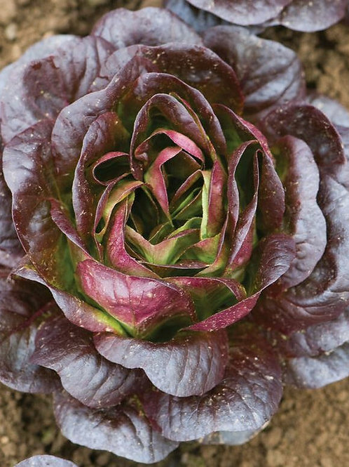 Living Red Butterhead - Baby Lettuce