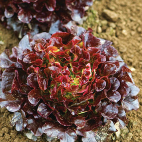 Living Red Oakleaf - Baby Lettuce