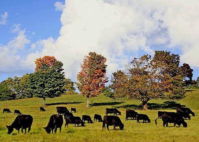 cows at gibbet.jpg