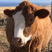 Brown Cow August.jpg