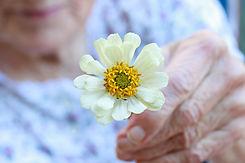 Senior lady holding white zinnia flower.