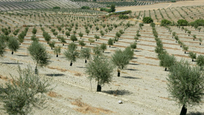 Plant An Olive Tree