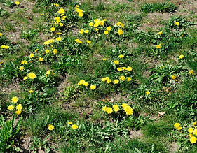lawn with yellow dandelion weeds