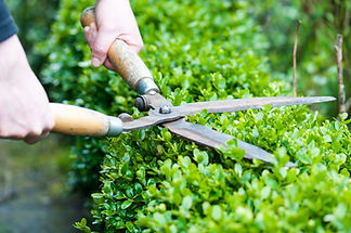 man trimming shrubs