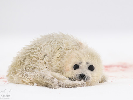 Ringed Seal Pup's Worst Year