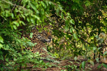 Jaguar in Bush