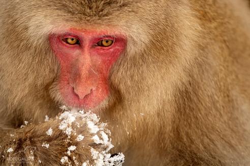 Japanese Snow Monkey closeup