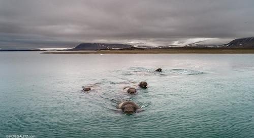 Walrus Drone Swimming