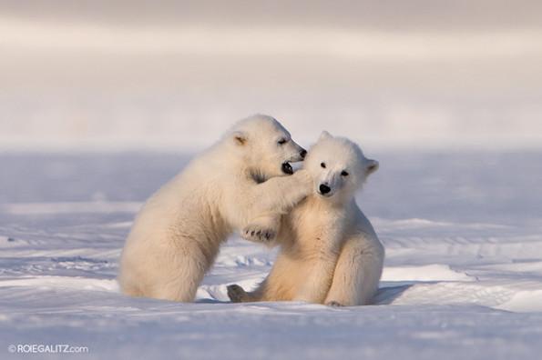 Two Polar Bear Cubs Playing