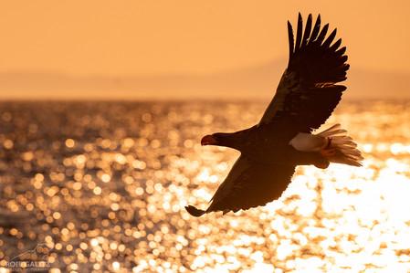 Steller's Sea Eagle Flying Sunrise
