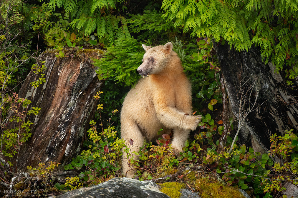 Spirit Bear in British Columbia