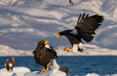 Steller's Sea Eagle Attack