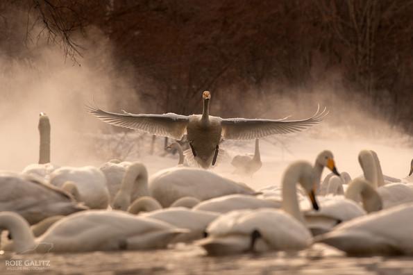 Whooper Swan Landing