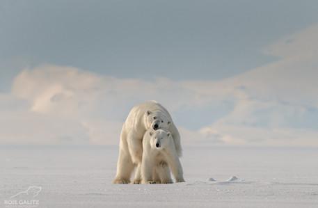Polar Bear Mating