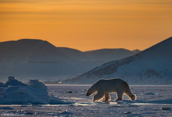 Polar Bear Svalbard Midnight sun