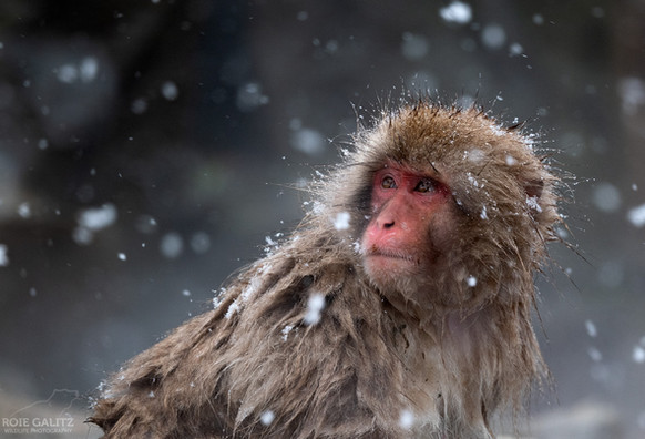 Japanese Snow Monkey Snow Falling