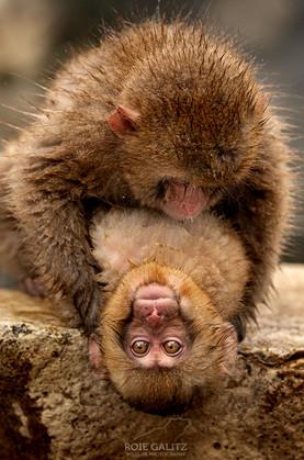 Funny Japanese Snow Monkey