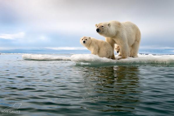 Polar Bear Family on Sea Ice